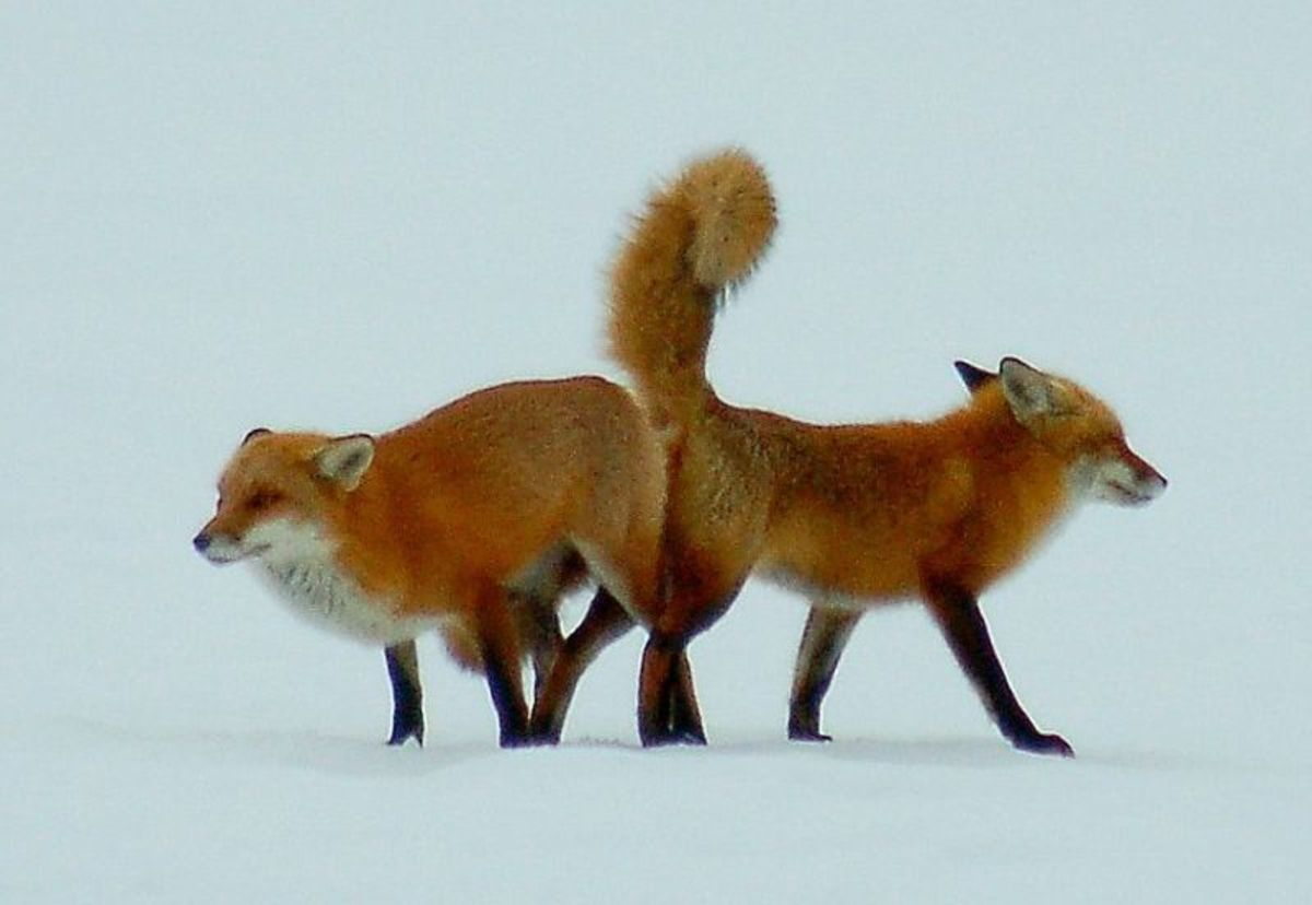 A pair of red foxes mating in the depths of winter.