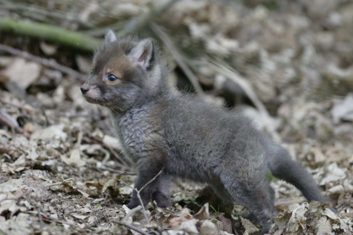 Fox initially develop brown fur, which changes to the more familiar amber, once they've emerged from the earth (den).
