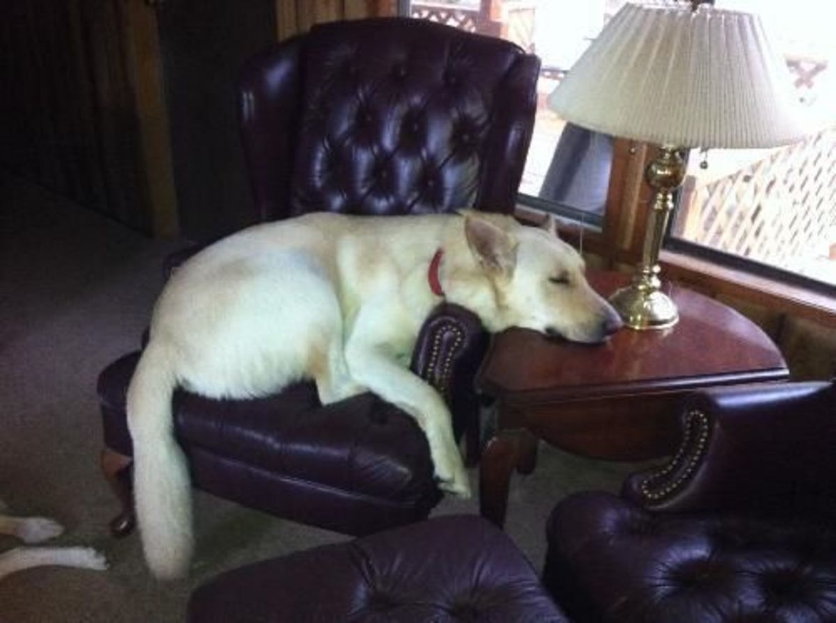 This picture shows Elmer taking a break.  Look how comfortable he has made himself!  If you think Elmer might be a great fit in your home, contact Echo Dogs White German Shepherd Rescue.