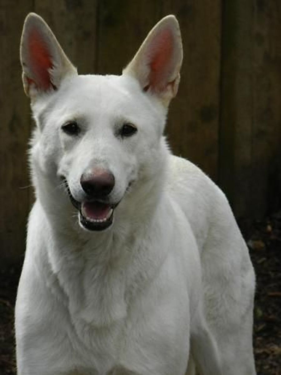 Looking for a female White German Shepherd?  Well, perhaps you should meet Neva!