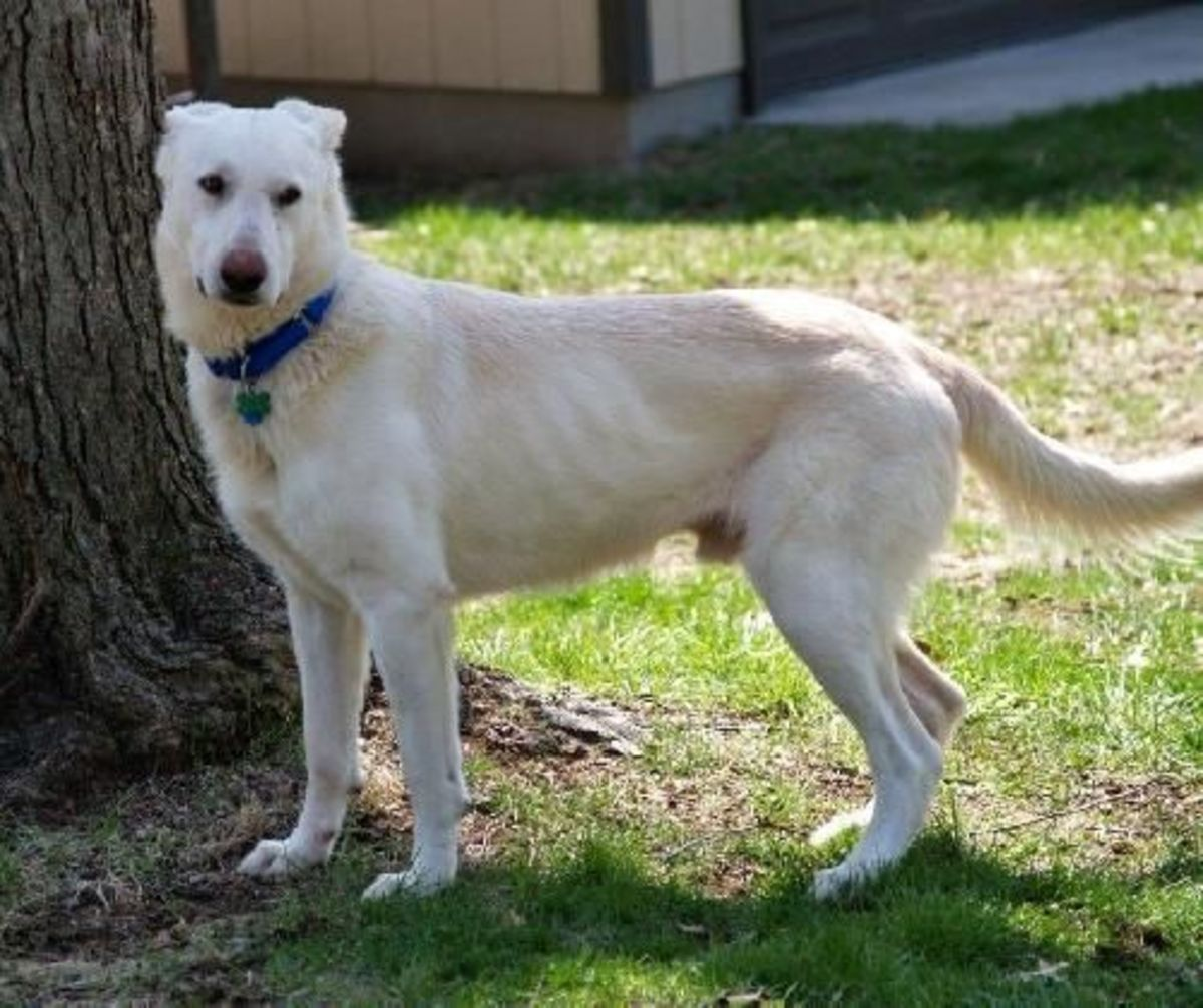 King is a loving and sweet White German Shepherd Dog who is waiting to be adopted.