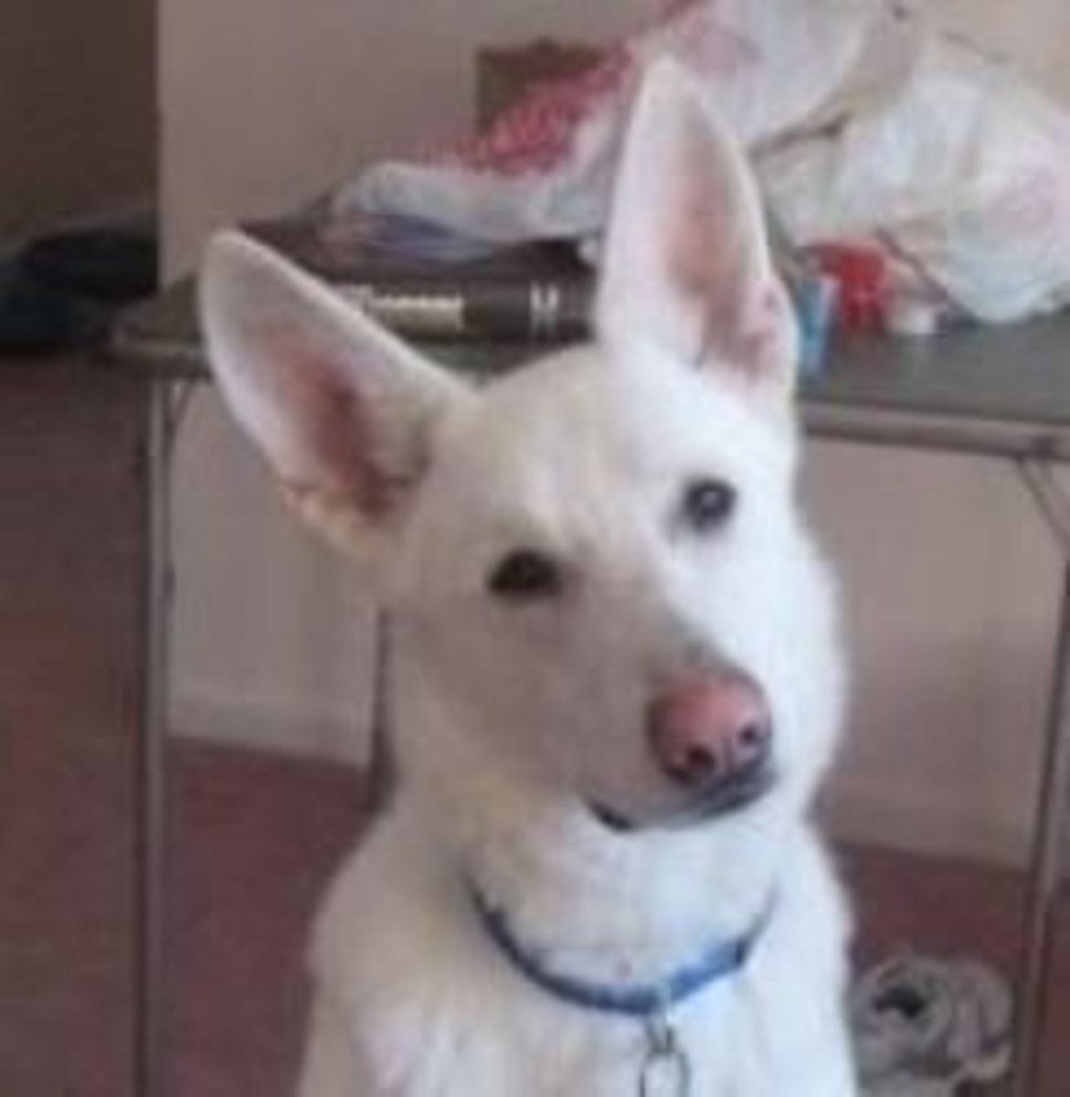 Ruger is a big White German Shepherd Dog and he needs a new home.