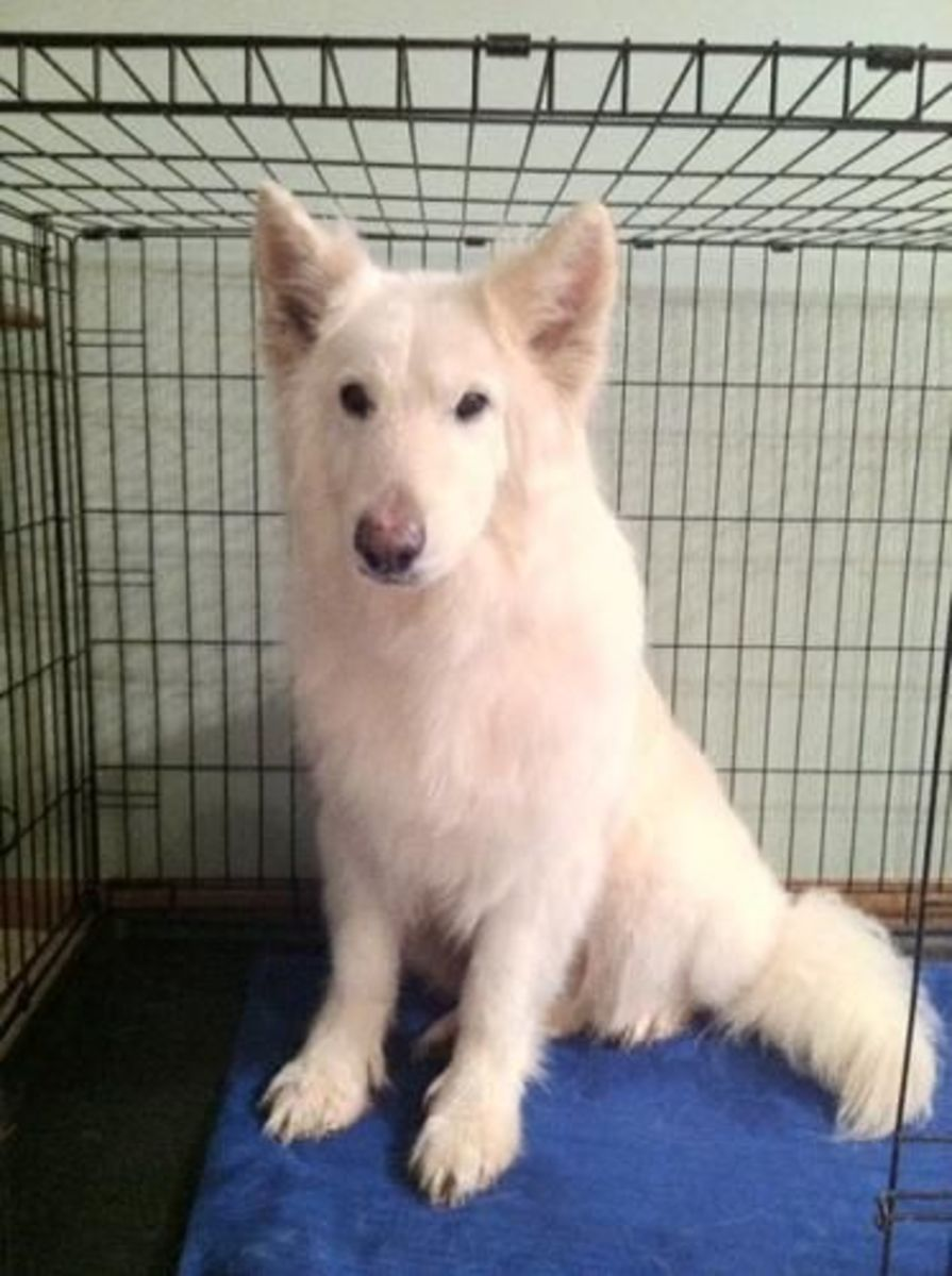 Meet Ricky At Echo Dogs White German Shepherd Rescue