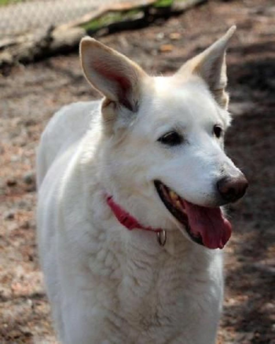 Arthur is an 80 pound, 6 year old White German Shepherd and he's waiting for that special someone to come and take him home.  Contact Echo Dog White German Shepherd Rescue to find out more about Arthur.