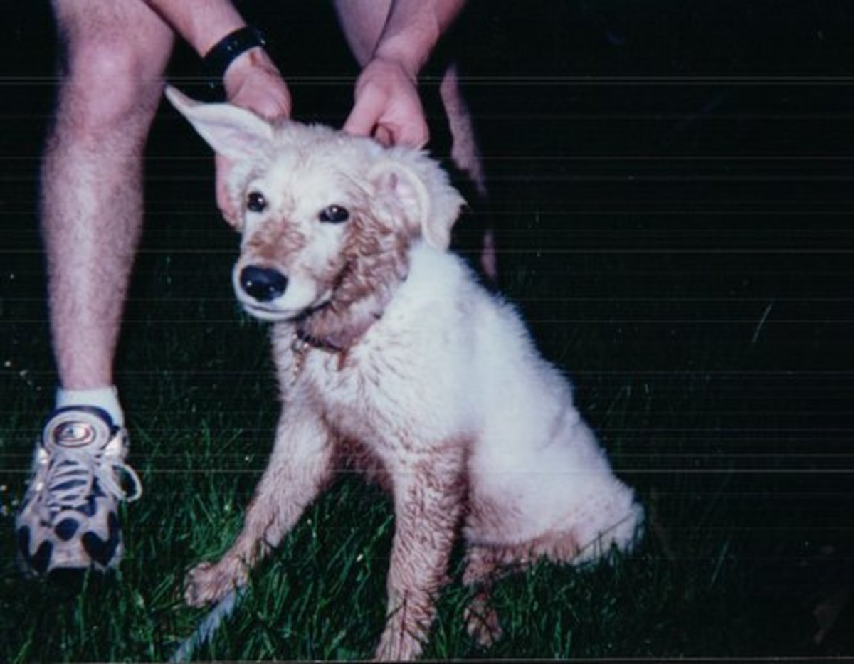 My White Shepherd As A Puppy On A Muddy Day.  Isn't He Cute?