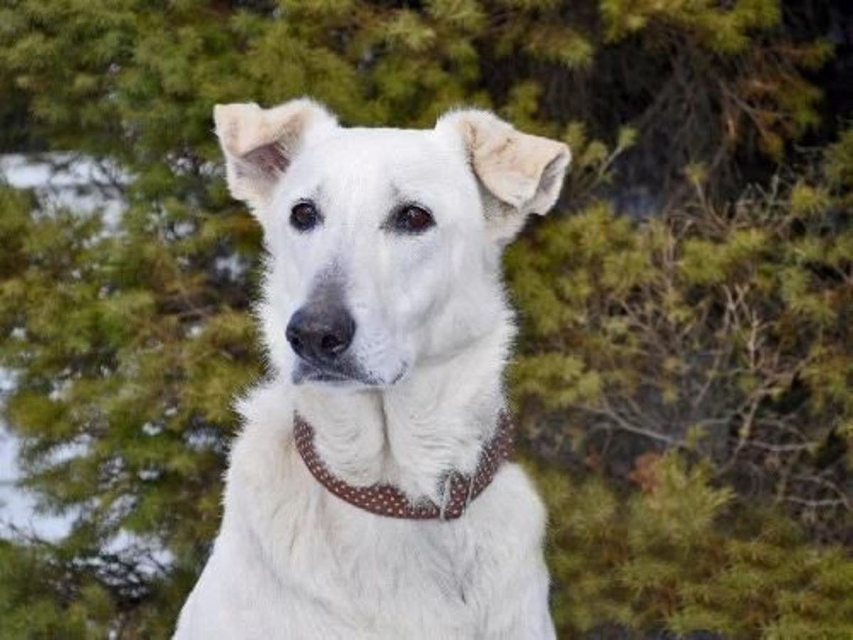 Meet Tulah and get more information from Echo Dogs White Shepherd Dog Rescue by clicking the picture.
