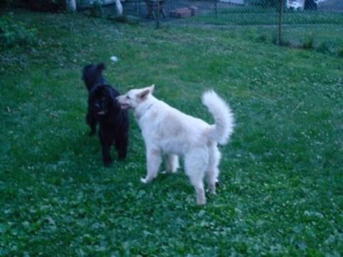 The White German Shepherd In My Yard With His Newfie Friend