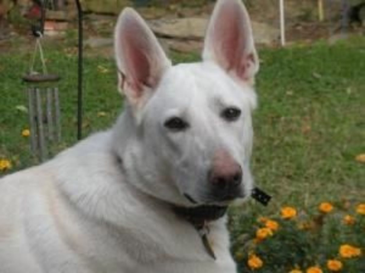Meet Serenity, A 4 Year Old White German Shepherd Who Is Available For Adoption.