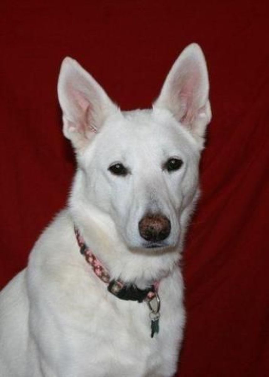 Meet Precious, a beautiful four year old White German Shepherd Dog.  Precious is a gentle and loving dog looking for a forever home.  If you are interested in adopting Precious contact Echo Dogs.