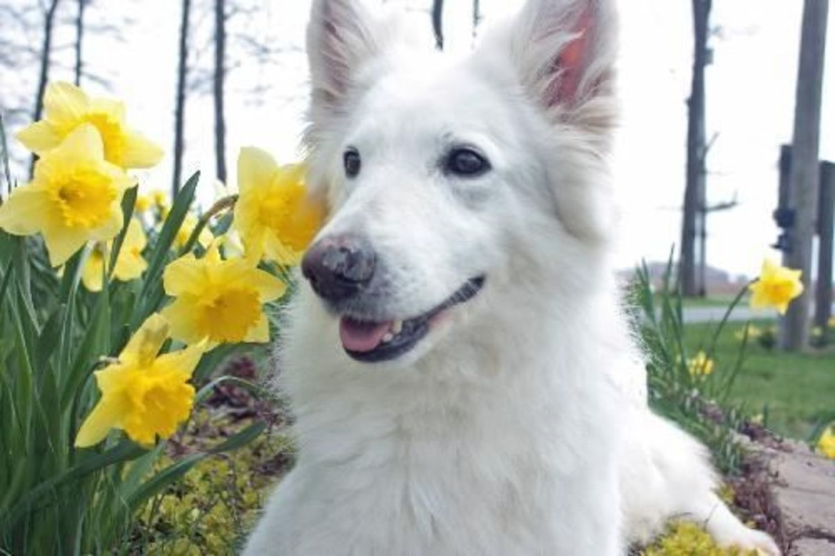 Meet Nivaeh, a two year old White German Shepherd who hangs out with Rickey, another Shepherd on this page.  Would you like two dogs?  Click on the picture to find out how to adopt a  White German Shepherd Dog.