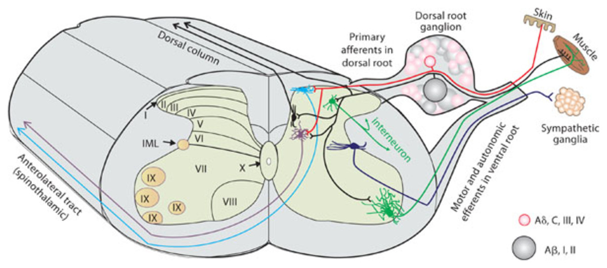 The nerve pathway involved in RLS symptoms
