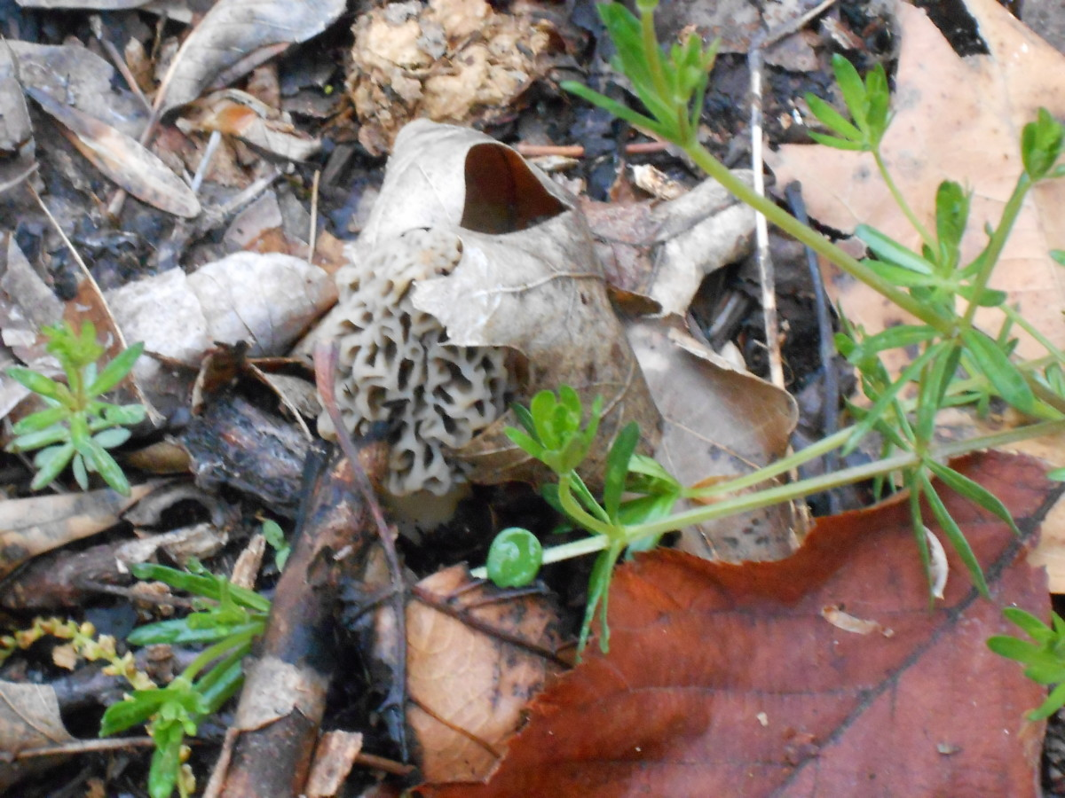 Little gray morels are tough to find among the leaves.