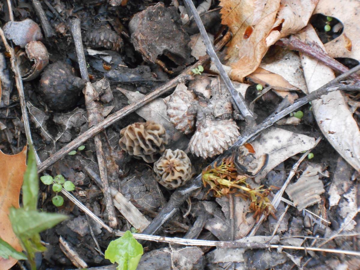 Really little gray morel mushroom twins aside two acorn tops.