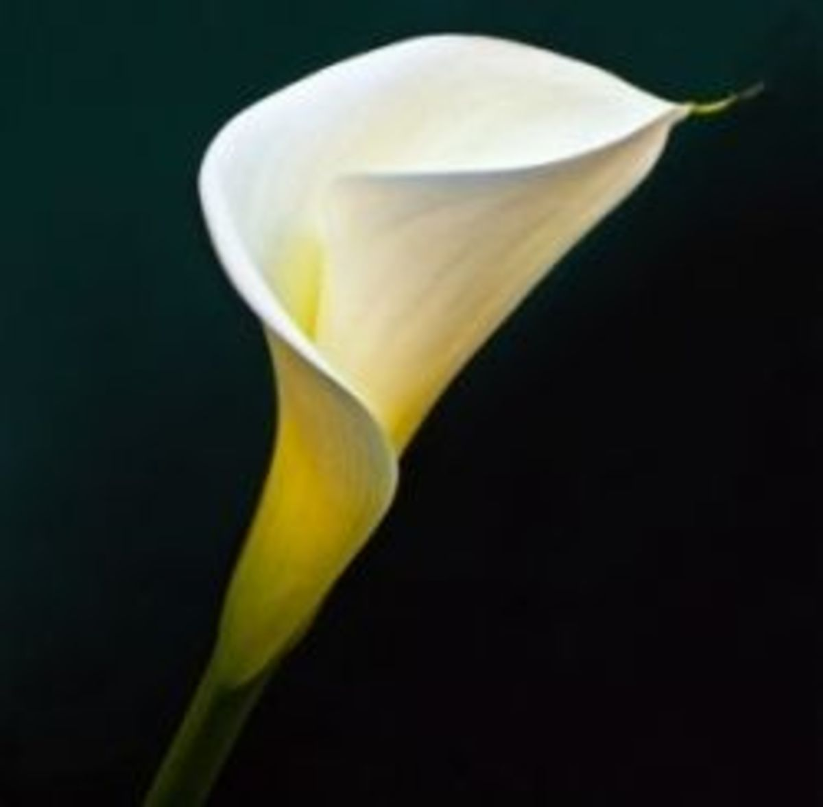 calla-lily-wedding-flowers