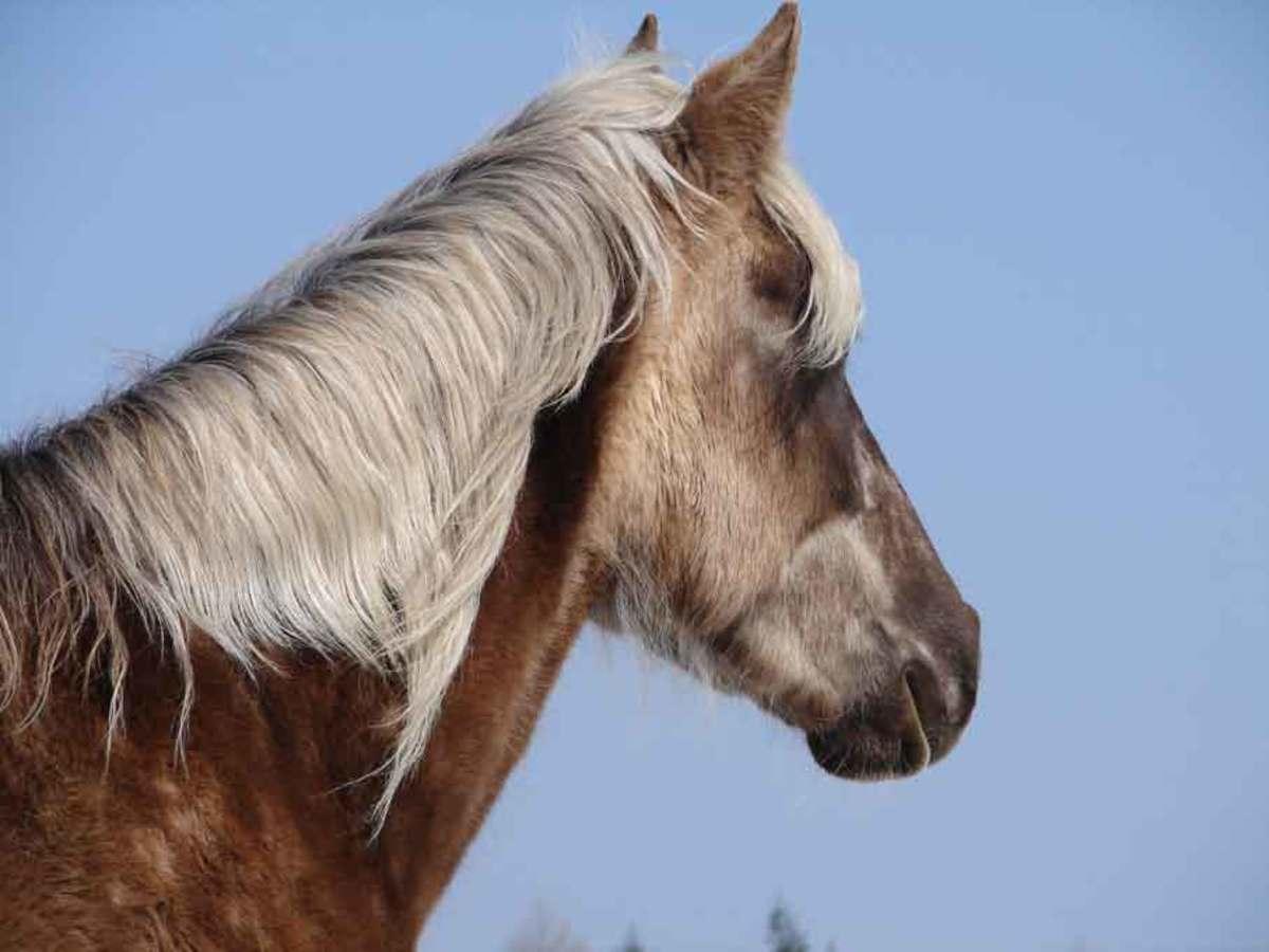 A Rocky Mountain horse head.