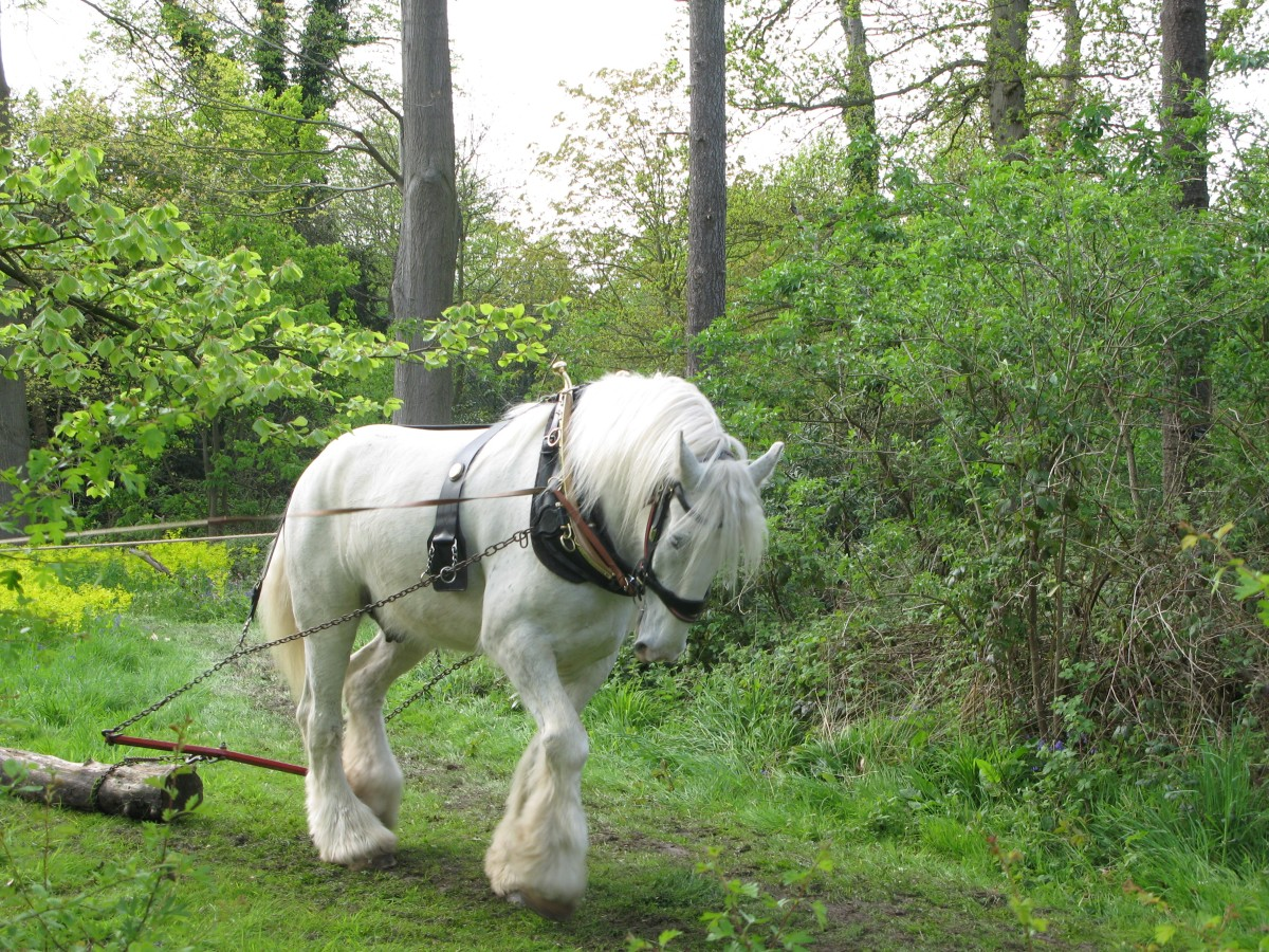 Shire horse being used in forestry.