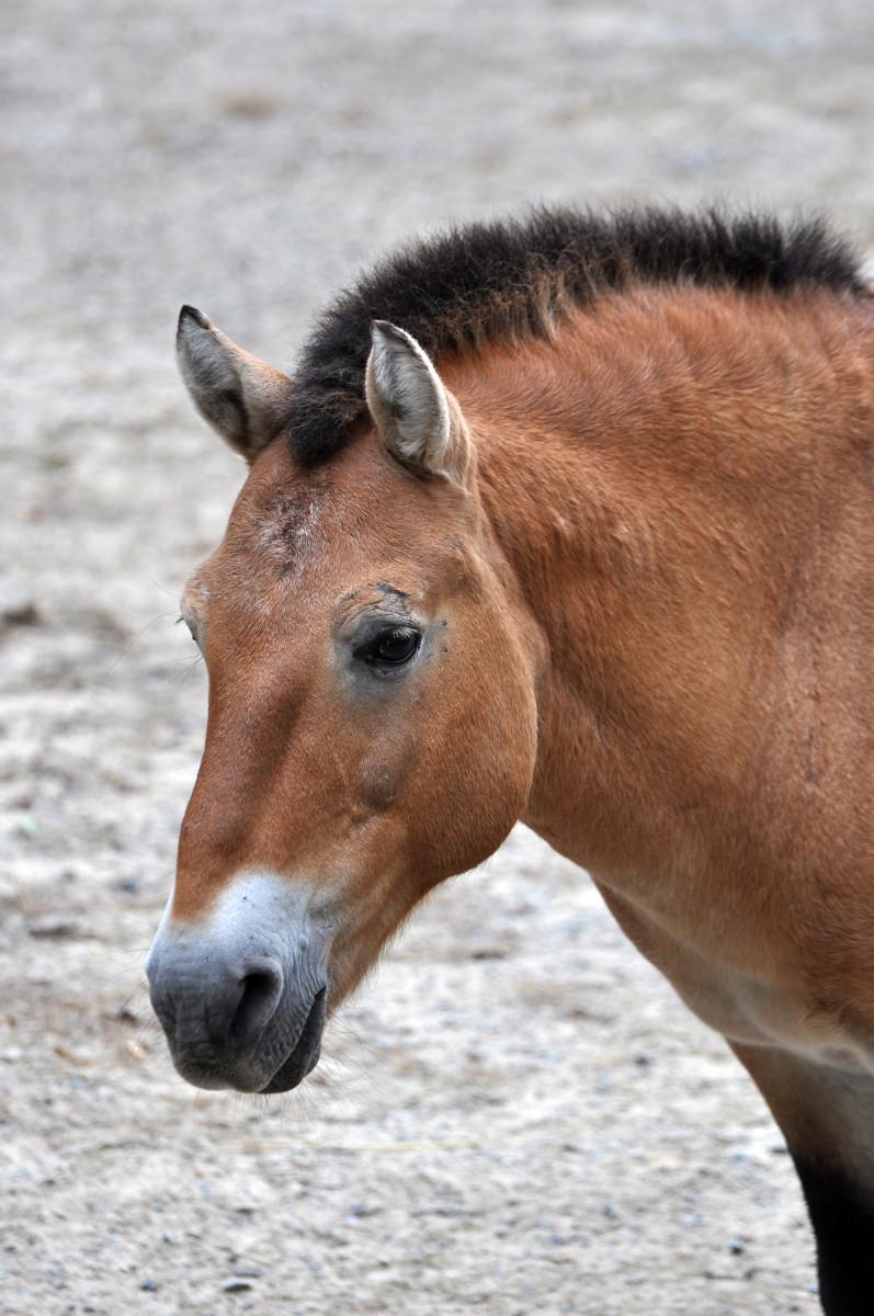 A portrait of a Przewalski's horse.
