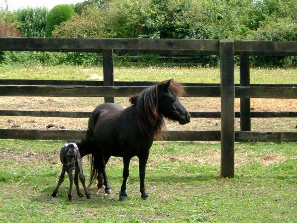 Falabella mare and foal.