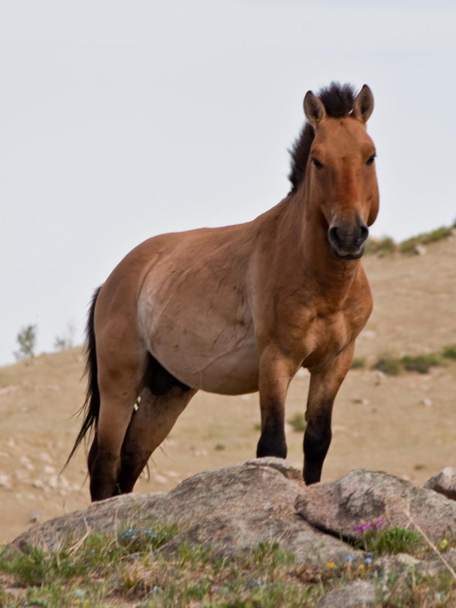 A Przewalski's horse.