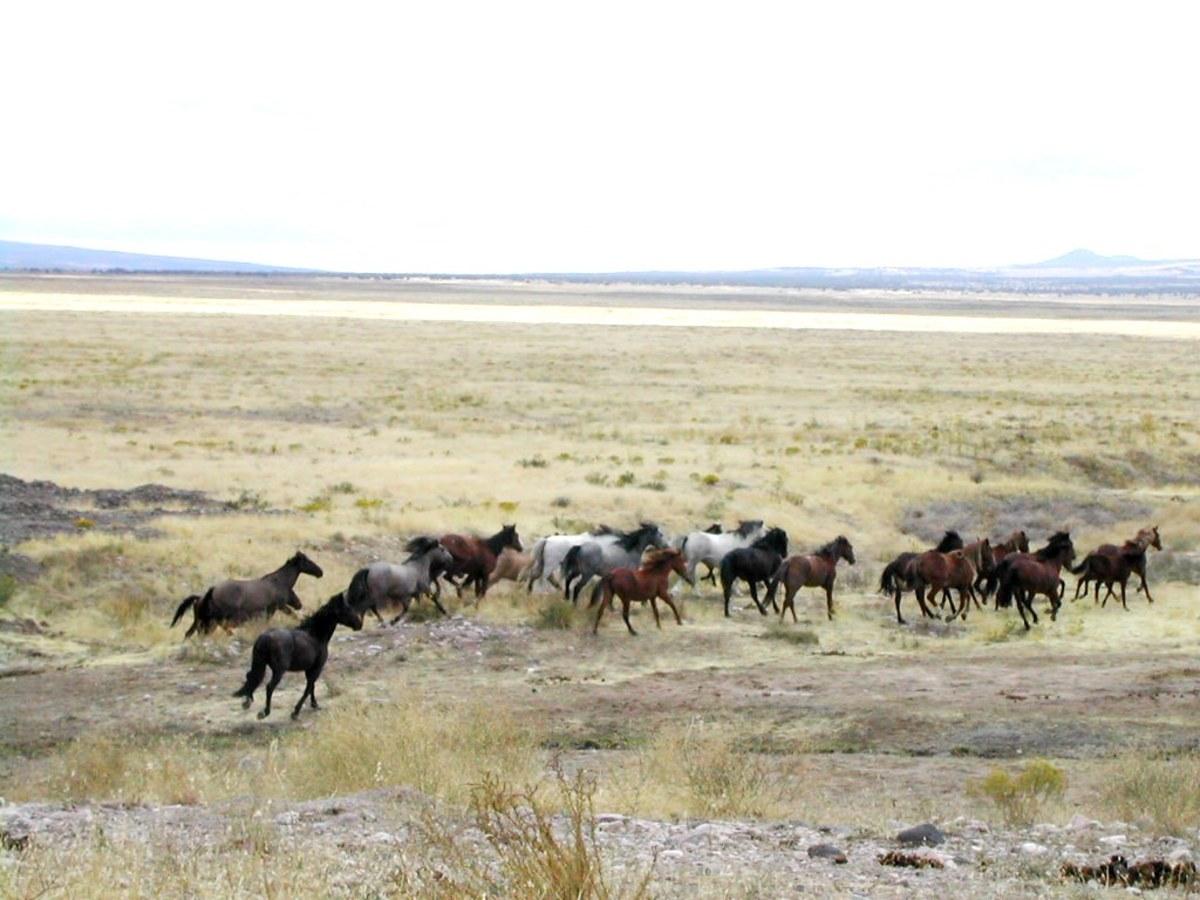 A mustang herd.
