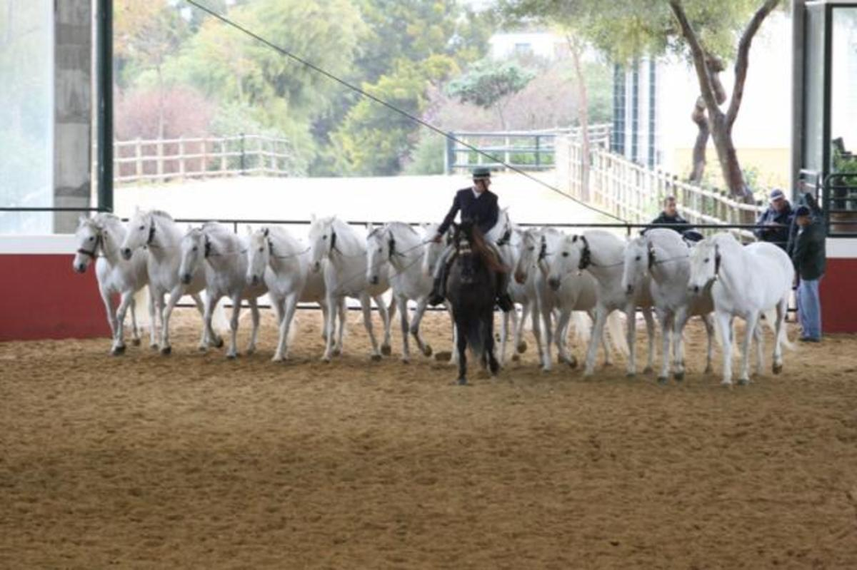 """A """"cobra"""": a group of Andalusian mares handled by one trainer."""