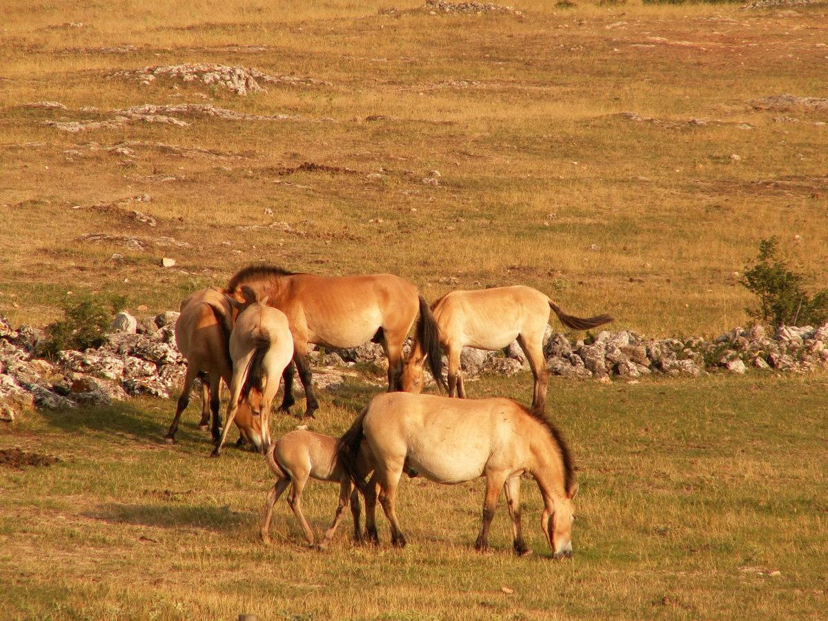 A herd of Przewalski's horses.