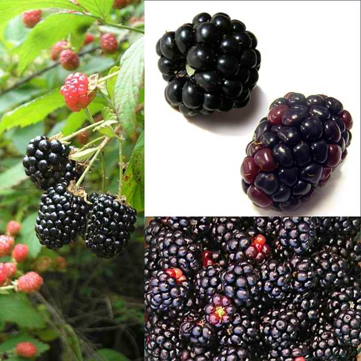 Rubus fruticosus| Montages of food