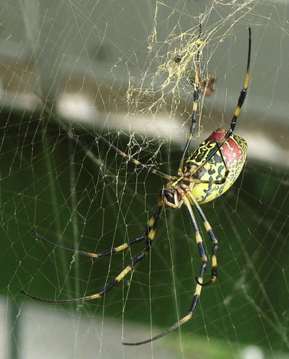 A Golden Orb Weaver Spider or as it is most commonly known as a Carolina Writing Spider. In case you're wondering you won't die if they write your name in their web. Spiders of no kind can really write. So you have nothing to worry about.