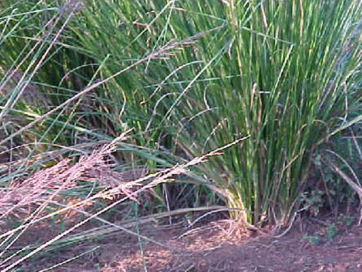 vetiver is a perennial grass native to India and one of the most widely oils used in perfumery.