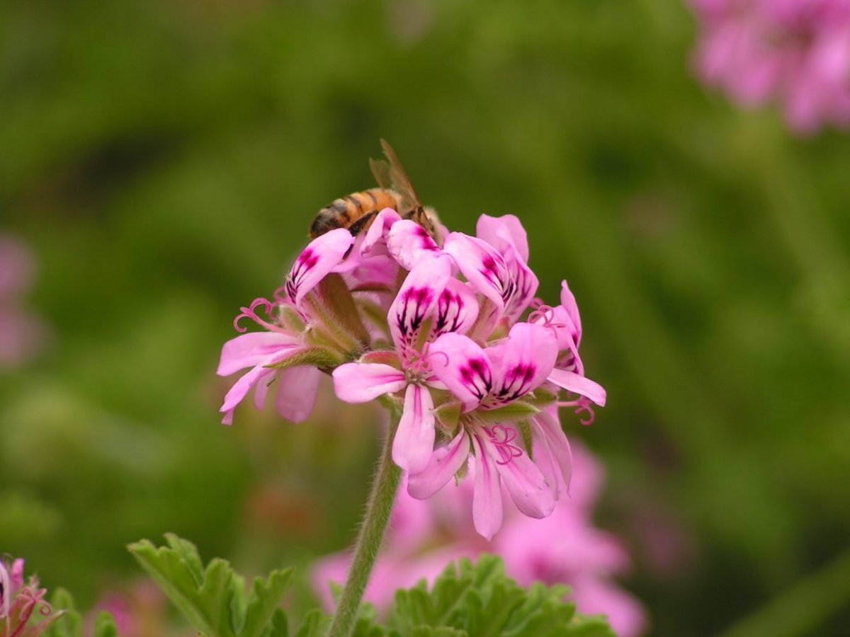 geranium oil comes  from the Geranium species Pelargonium graveol.