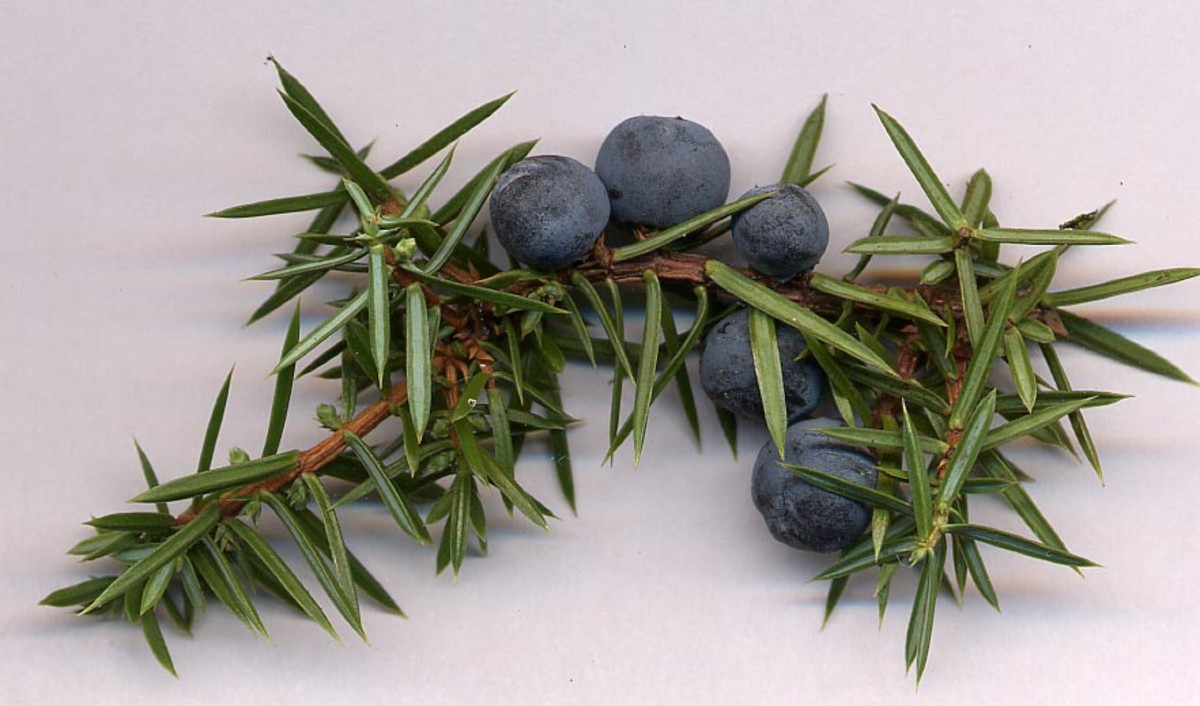 juniper berries are steam distilled to produce juniper essential oil.