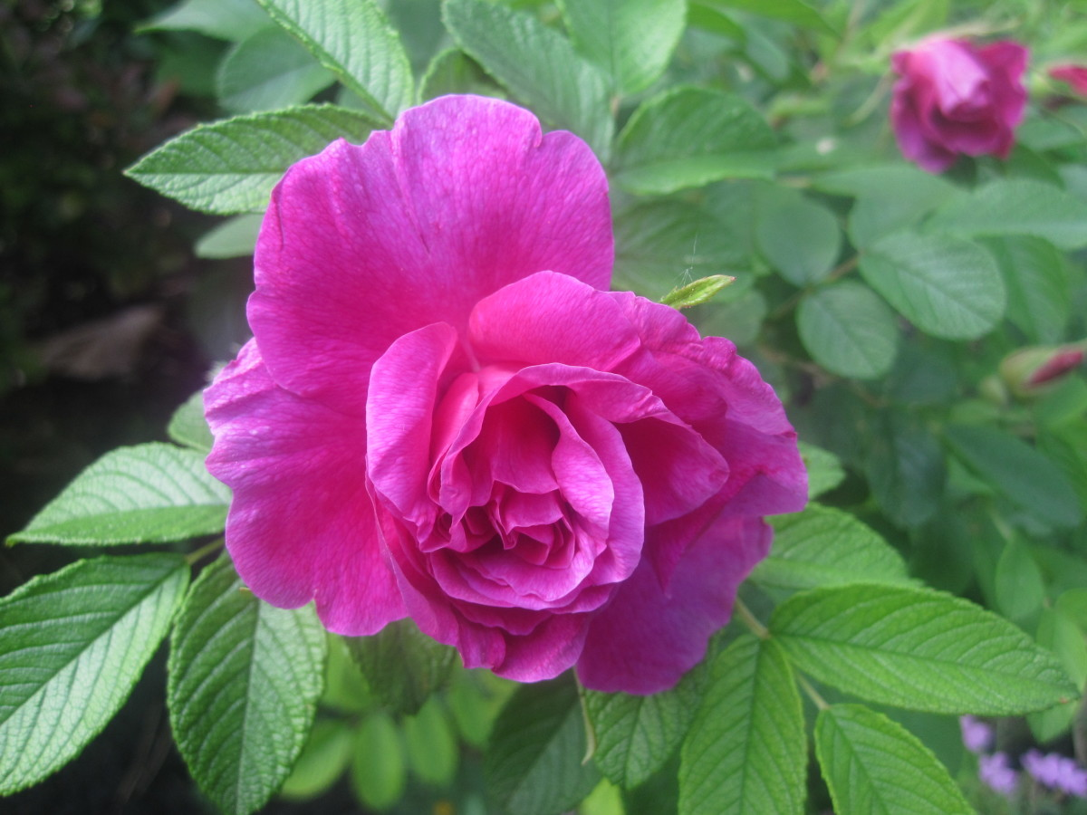 roses in your garden may be utilized into homemade rosewater easily and quickly.