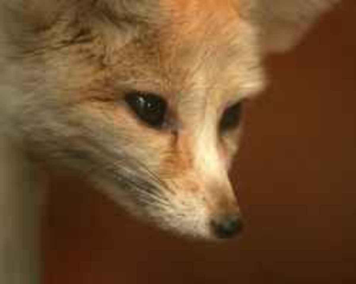 Writer Fox Watching