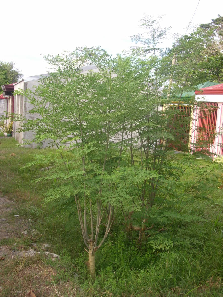 Moringa trees grown  without  being taken care of, at the cemetery in our town.