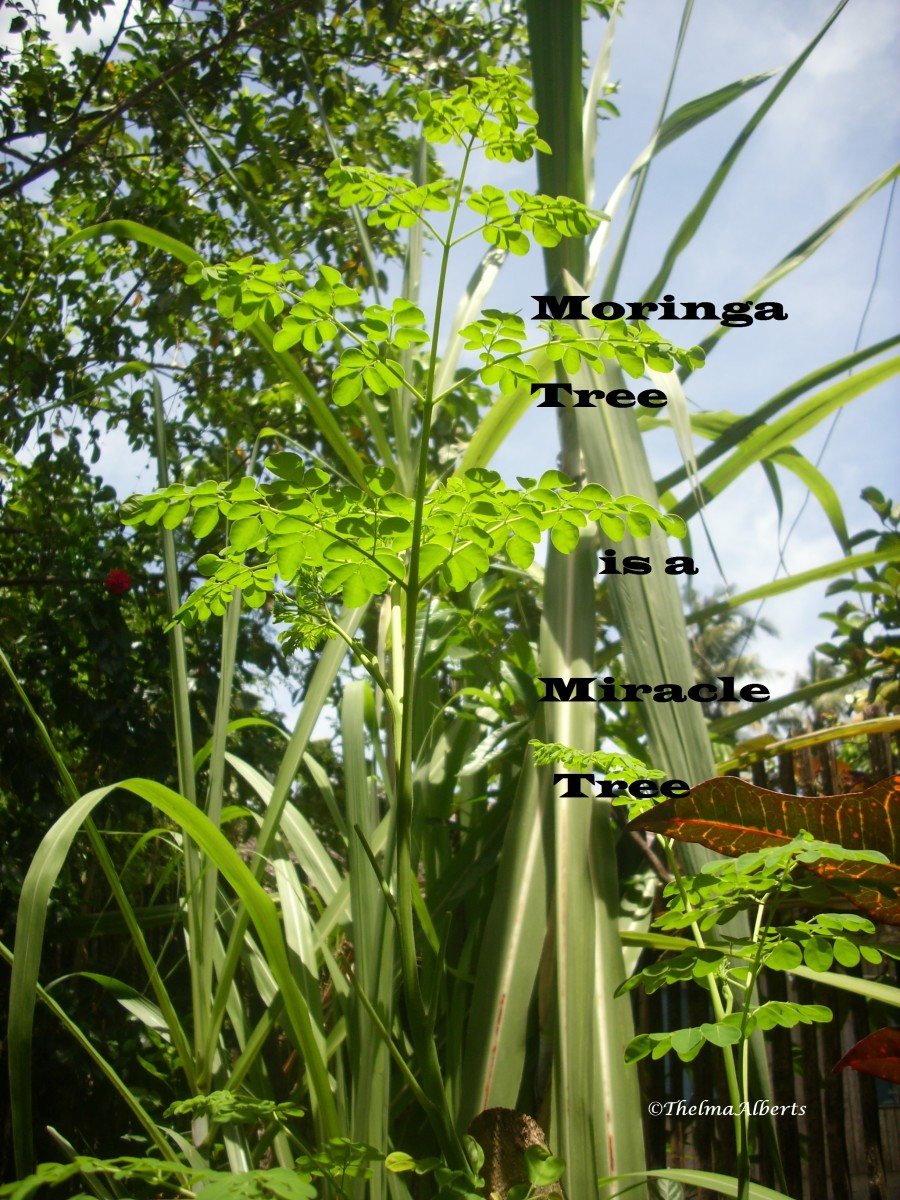Moringa tree in front of the sugar cane plant at my back yard.