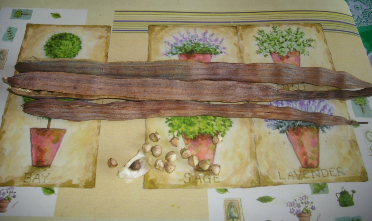 Moringa pods and seeds