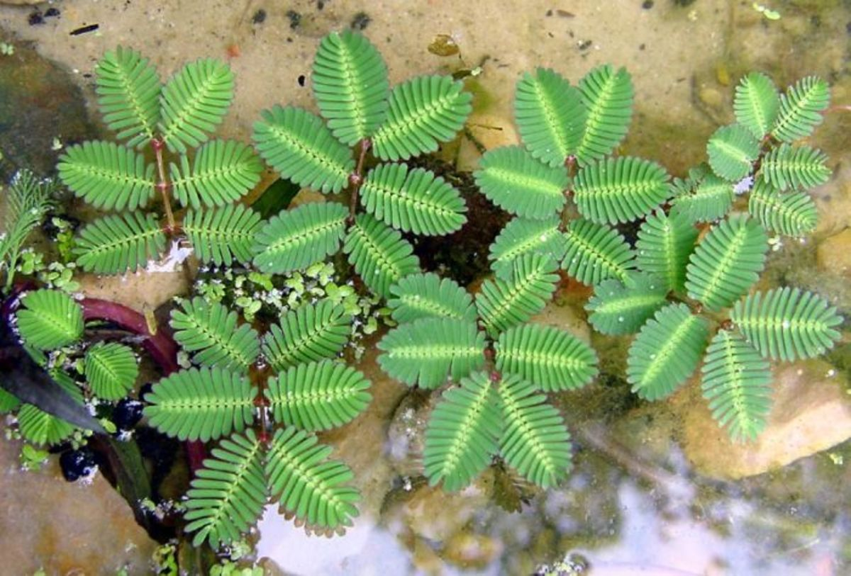 Young mimosa pudica or shy plant growing in a pot.