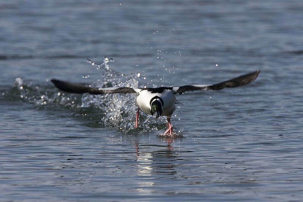 A bird like this male bufflehead duck need to literally run across the water to generate the lift needed to take off, as it is almost impossible to complete a conventional takeoff on open water.