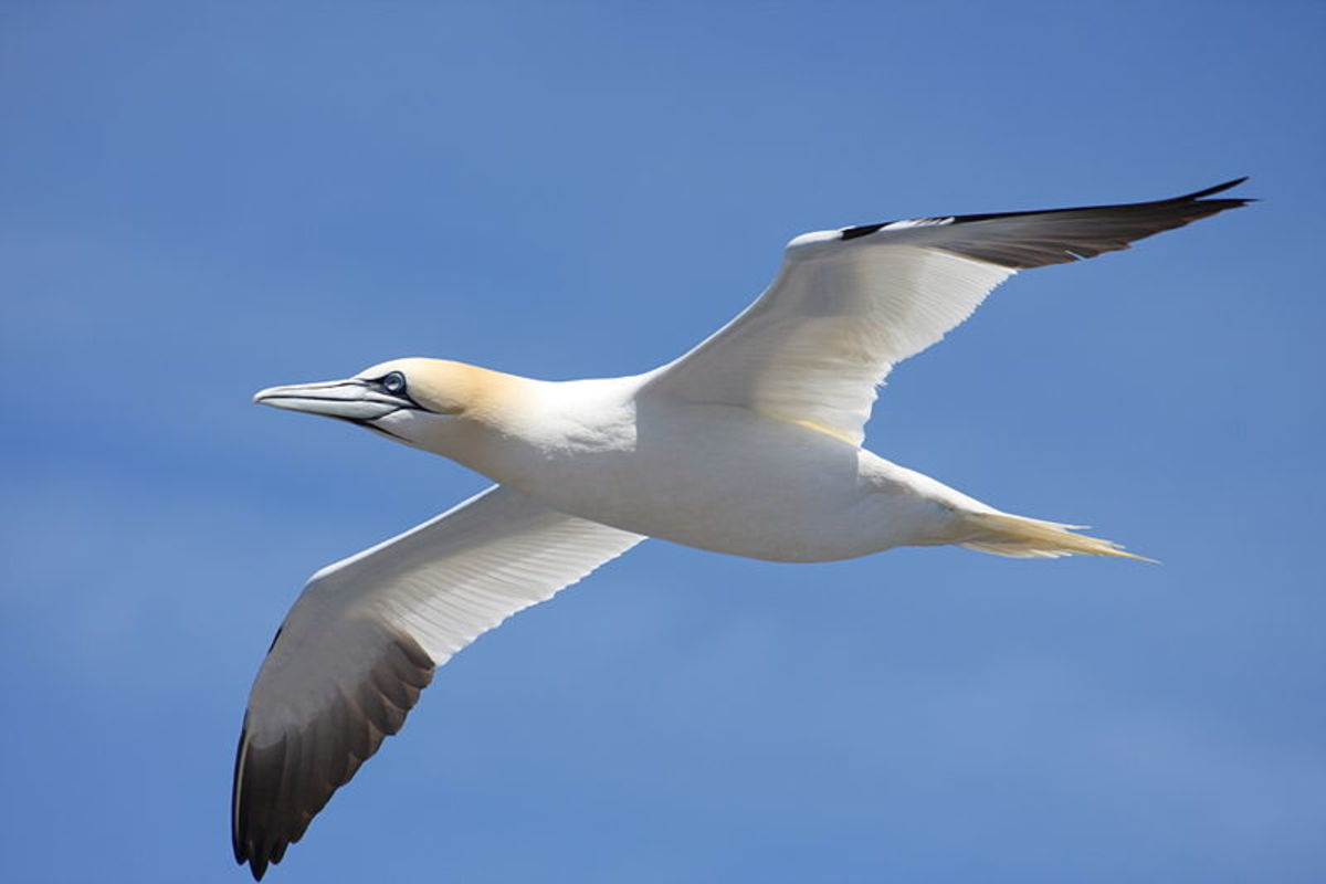 The black primaries of the gannet clearly show the proportions of the wing layout: the white lift section is longer, a good gliding characteristic.