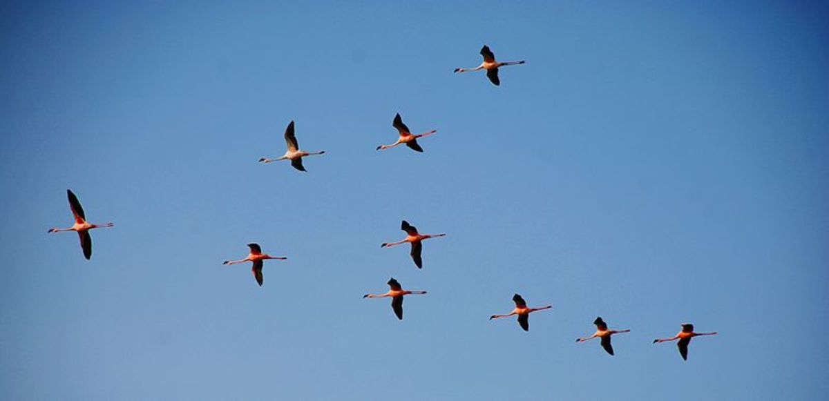 Freedom of the air enables these flamingos' to choose the best places for feeding and roosting. With advantages like this, birds as a class have evolved twice as many species as mammals.