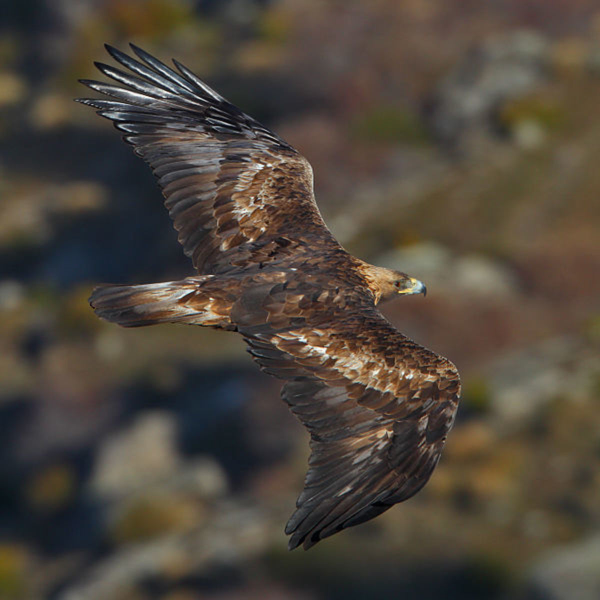 A golden eagle soars effortlessly. The primary feathers are spread out to obtain maximum advantage from rising air currents; they are also specially shaped to reduce turbulence, helping the eagle to gain speed when gliding downwards.