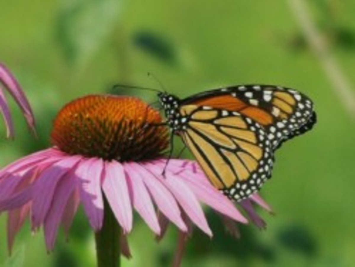 Cure Shingles Fast with Echinacea