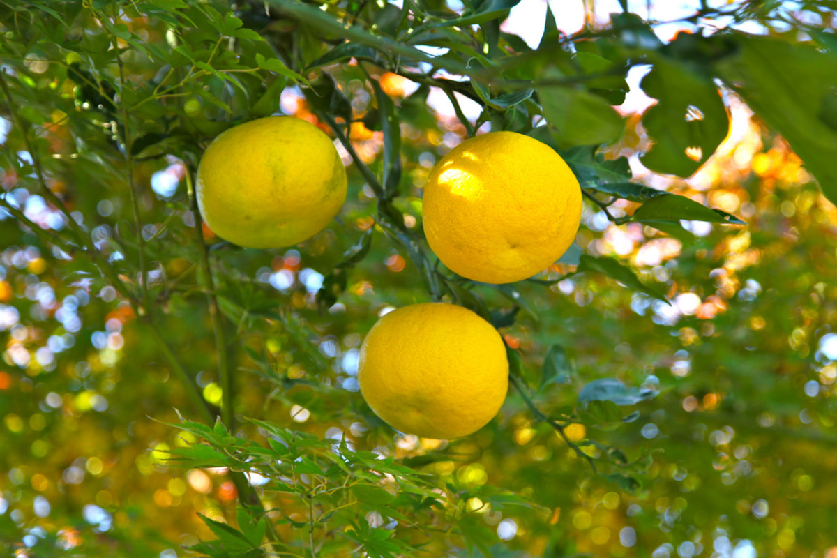 originating in East Asia, Yuzu fruit are extremely popular in Korea and Japan.