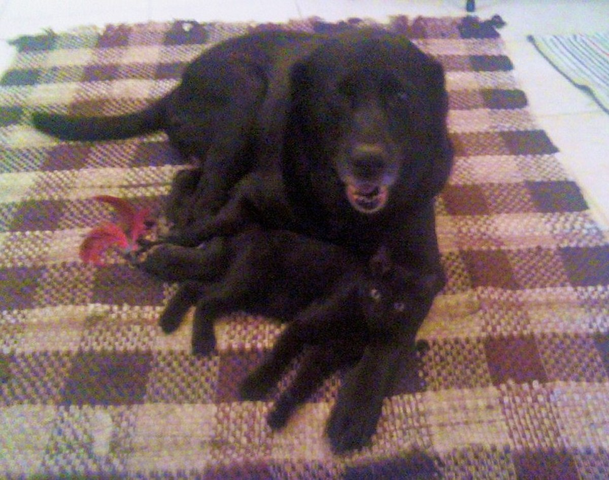 Meet Melody the Black Lab and our new kitten, Oliver.  Neither one had any idea they weren't blood related.  Melody even tried to nurse Oliver as if he were her baby.