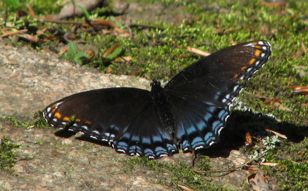 Red Spotted Purple - Limenitis arthemis astyanax