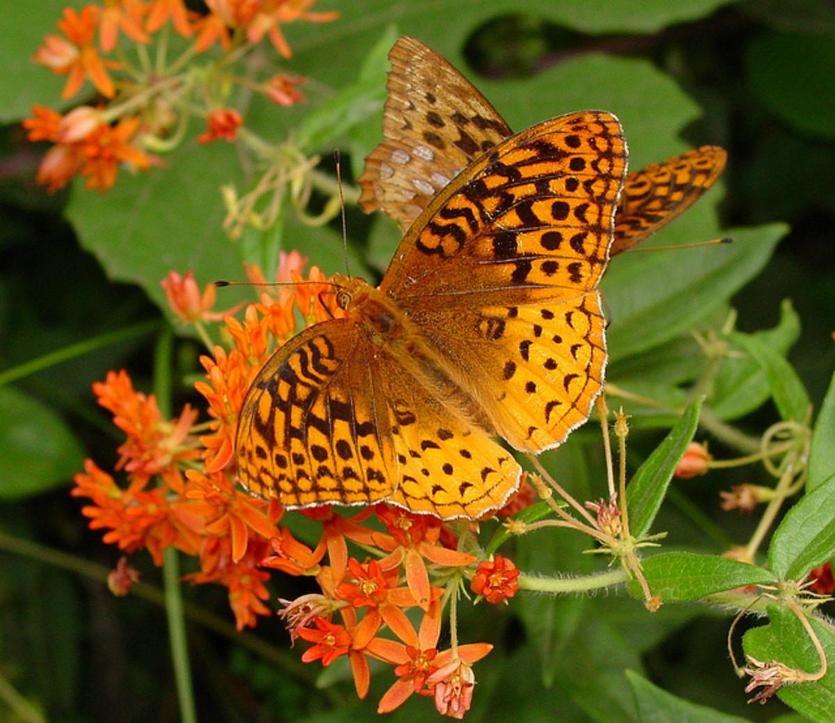 beautiful-butterflies-of-the-usa