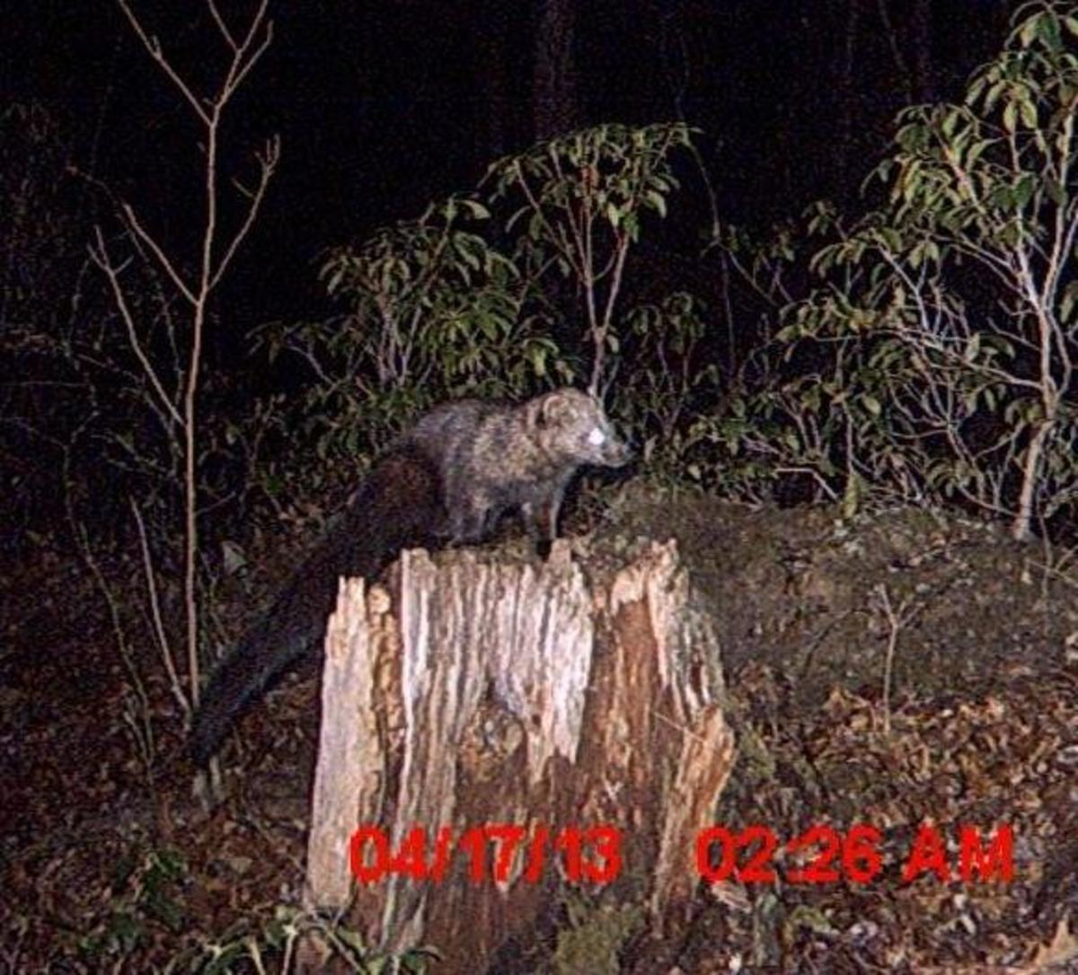 Fisher caught on a trail cam in Franklin, Pennsylvania.