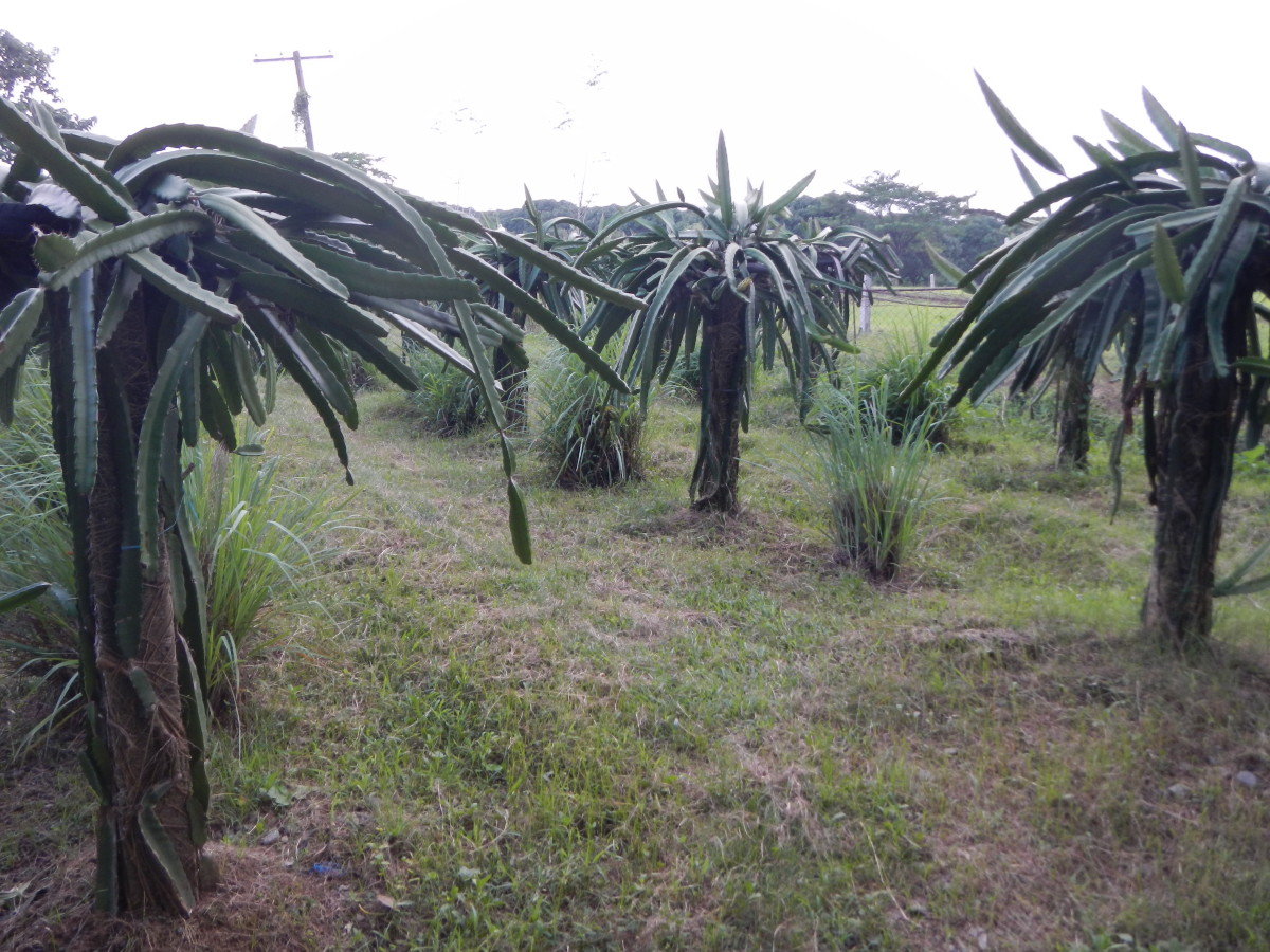 dragon fruit trees