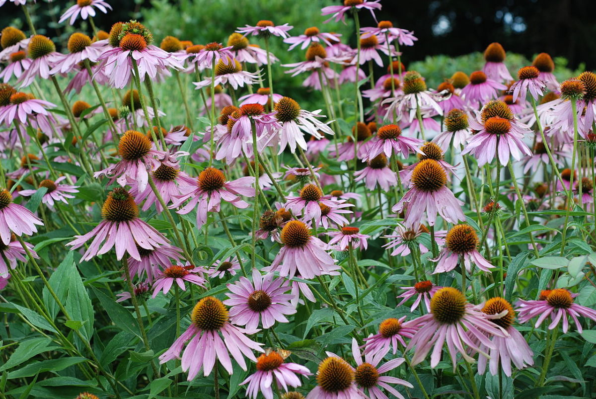 Echinacea in flower