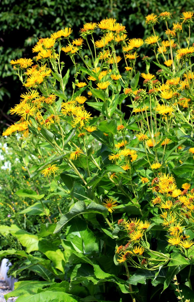 Elecampane in flower